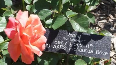Easy Does It Florabunda Rose for Medication